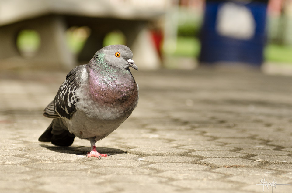 Image Caption: Pidgeons in Woodford Square, Trinidad.—Click to read this article.
