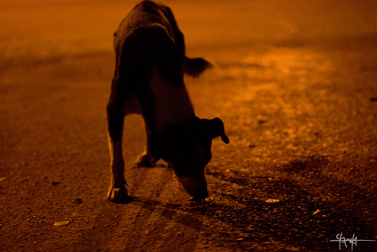 Image Caption: A stray dog seeks out fallen food on the barbergreen of the Queen's Park Savannah. 8th May, 2010.—Click to read this article.