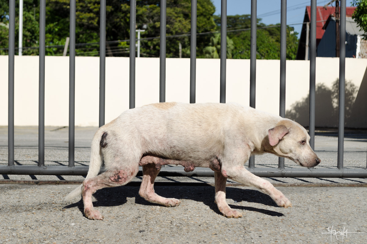 A pale, stray dog on Richmond Street, Port of Spain. 30th July, 2016. (Shaun Rambaran / Forge Business Imagery)